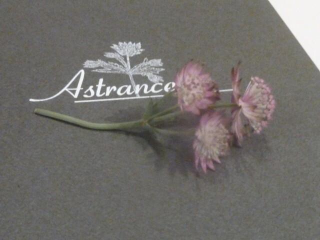L'Astrance fleur des montagnes © DC