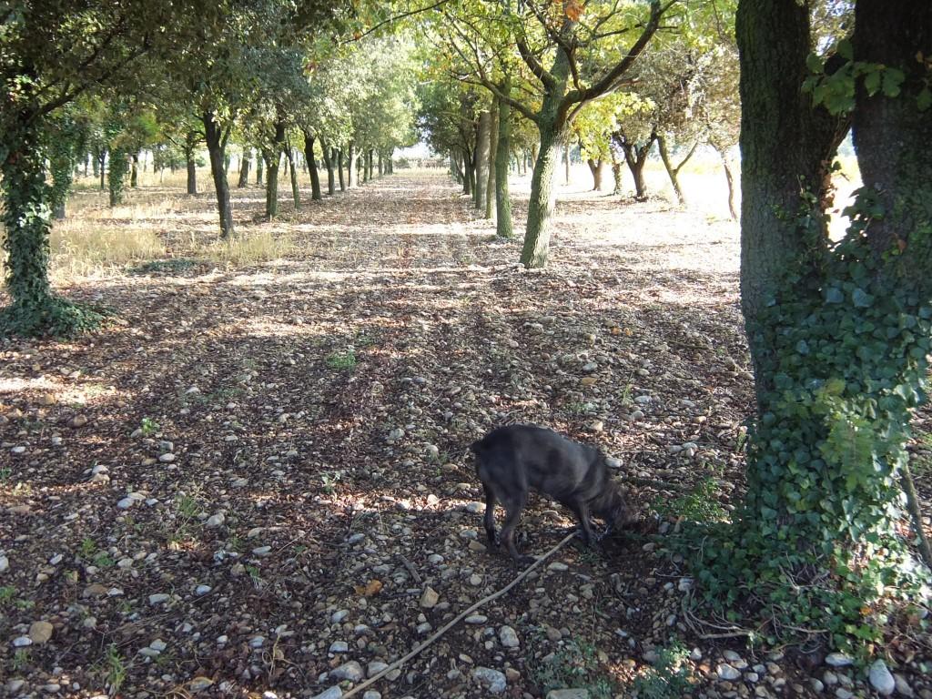 Le chien sous les chênes © GP