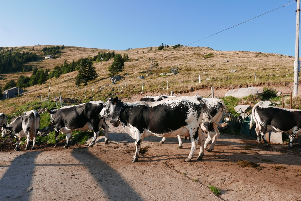 Les vaches à la sortie de l'étable © GP