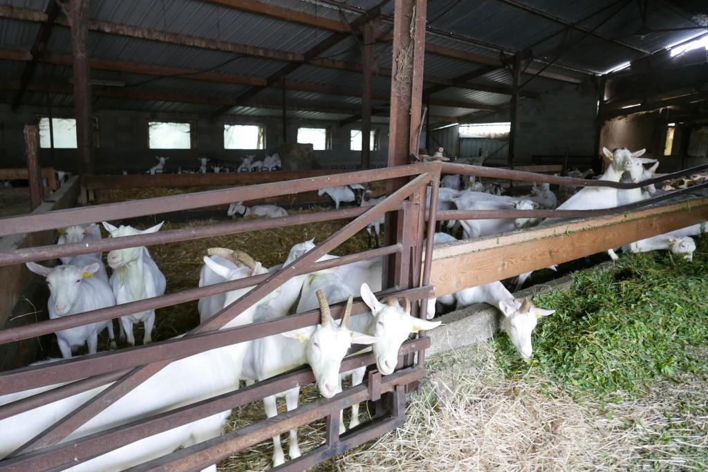 Les chèvres © GP