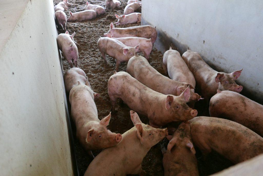 L'élevage des porcs © GP