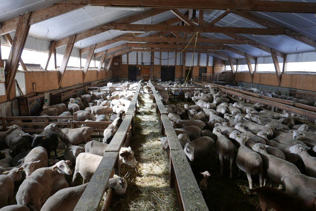 Molines-en-Queyras : l'agneau selon Loïc