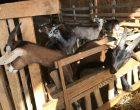 Les chèvres à l'enclos © GP