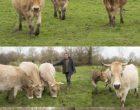 Nantes : quand Maurice Rougemont se penche sur les vaches nantaises