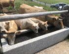Les vaches © GP