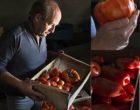 Troyes/Saint-André-les-Vergers : le magicien de la tomate vu par Maurice Rougemont